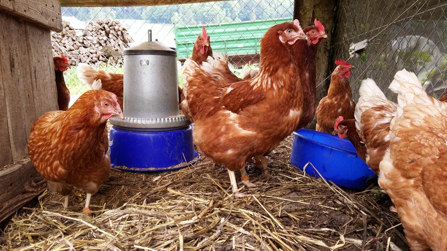 Hayward citizens fight over chicken rights
